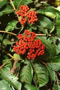 Evodia fruit